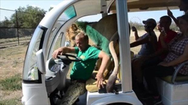 กล้าไปไหม!สวนสัตว์เปิดที่แท้ทรู สิงโตถึงกับขึ้นมาเล่นกับคนบนรถ