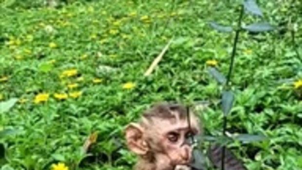 ลูกลิงอายุไม่ถึง 1 เดือน แม่โดนจับไปทำหมัน ไม่ได้กินอาหารมา 3 วัน