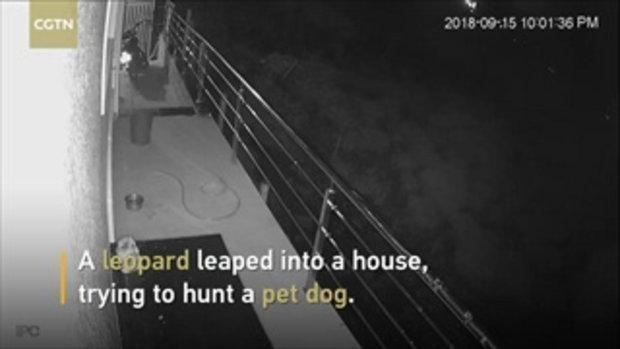 ระทึก เสือดาวบุกบ้านมนุษย์ งาบสุนัขเป็นอาหารมื้อดึก