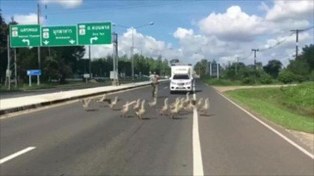 ตำรวจมุกดาหารช่วยฝูงห่านข้ามถนน
