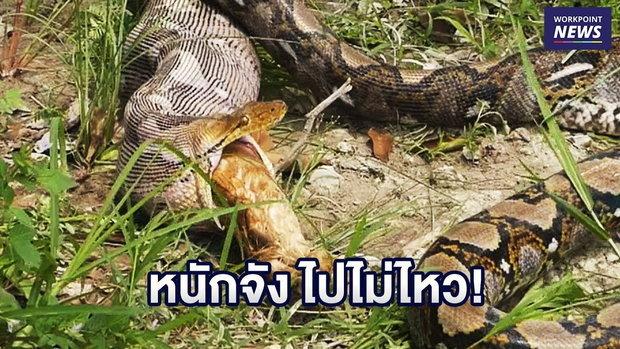งูเหลือมยาว 4 เมตร เลื้อยกินแมว-คายของกลางต่อหน้า l ข่าวเวิร์คพอยท์ l 24 ก.ย. 61