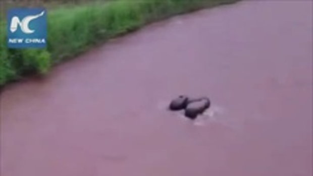 ลุ้นตามใจสั่น ช้างใหญ่รวมพลังครอบครัว ช่วยลูกช้างจมแม่น้ำ