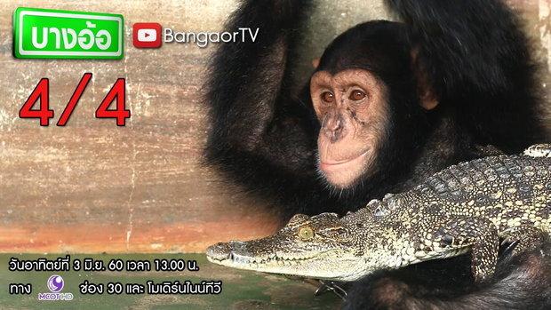 บางอ้อ :  มิตรภาพต่างสายพันธุ์ - ลิงกับจระเข้ (4 มิ.ย. 2560) 4/4