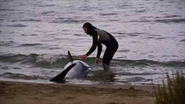 วินาทีประทับใจ นายตำรวจเห็นโลมาเกยตื้นอยู่บนหาด รีบผลักออกทะเล