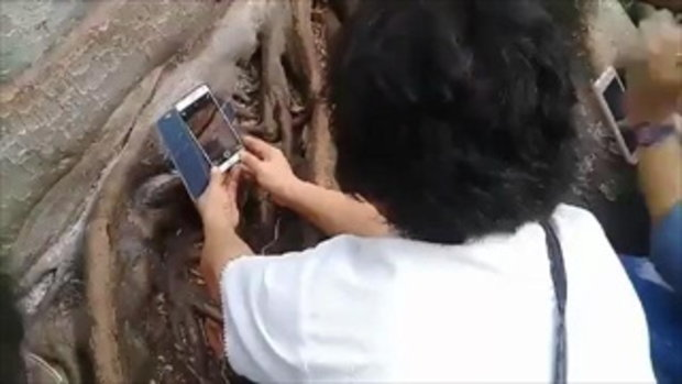 เห็นเลขเต็มตา ชาวบ้านแห่ลูบรากมะเดื่อยักษ์อายุ 100 ปี อาถรรพ์คำชะโนด