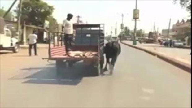 สุดซึ้ง! แม่วัววิ่งตามรถมีลูกน้อยที่นอนเจ็บต้องไปโรงพยาบาล