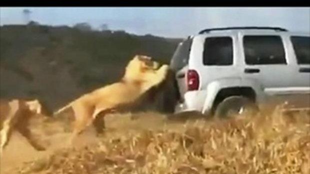 หมดลายเจ้าป่า สิงโตขี้เกียจวิ่ง อาศัยเกาะยางอะไหล่รถโฟร์วีลส์ลากไป