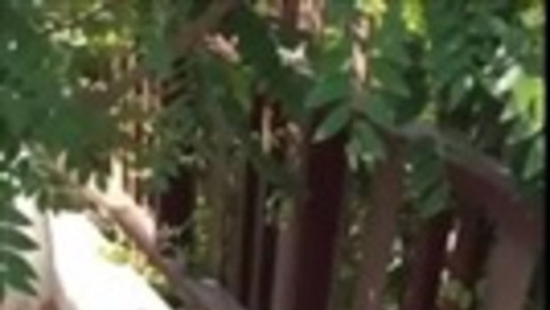 เจ้านายไม่อยู่หนูร่าเริง!! หมาน้อยโกลเด้น ฟาดมะยมเรียบเกลี้ยงต้น