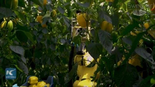 """นักวิจัยพัฒนา """"สวีปเปอร์"""" หุ่นยนต์นักเก็บเกี่ยว สอยผลสุกใน 24 วินาที"""