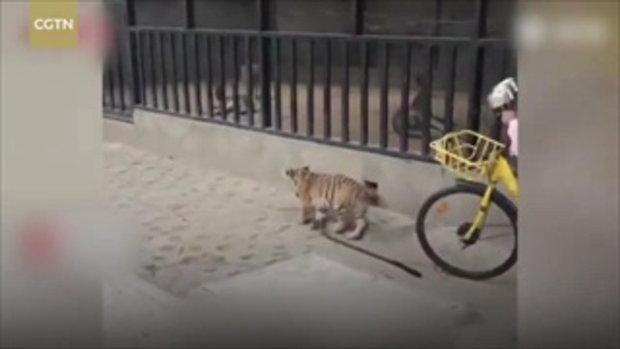 """เลี้ยงหมามันธรรมดา! ด.ญ.9ขวบลูกเจ้าของสวนสัตว์ จูง """"ลูกเสือ"""" เดินเล่น!"""