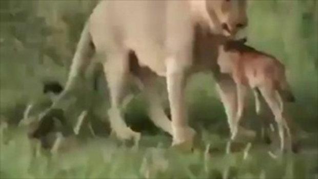 เพื่อนข้าใครอย่าแตะ ไม่น่าเชื่อ สิงโต ปกป้องเพื่อน กวาง จากสิงโตตัวอื่น