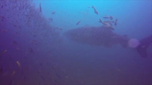 พบปลาฉลามวาฬขนาดใหญ่โชว์ตัวที่จุดดำน้ำซากเรือบุญสูง หน้าหาดเขาหลัก จ.พังงา