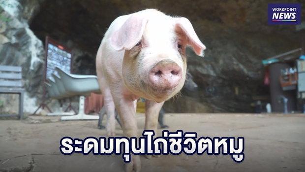 """""""น้องหมู"""" หนีโรงฆ่าสัตว์ นทท ช่วยระดมทุนไถ่ชีวิต l ข่าวเวิร์คพอยท์ l 12 พ.ย.61"""
