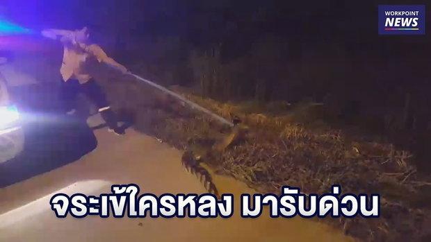 ไล่จับจระเข้ยาวกว่า 2 เมตร โผล่กลางถนน l ข่าวเวิร์คพอยท์ l 11 พ.ย. 61