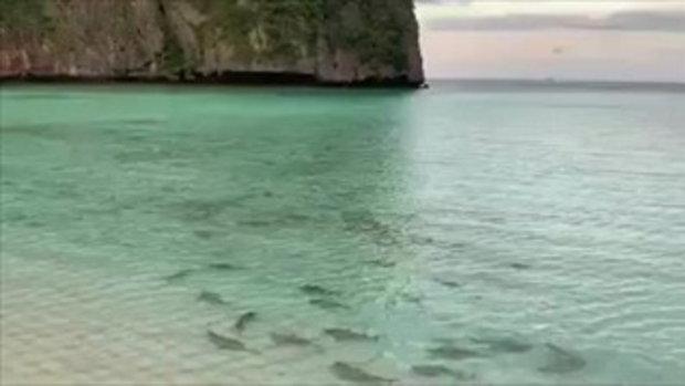เผยคลิป ฉลามครีบดำ กว่า 50 ตัว อ่าวมาหยา เกาะพีพี