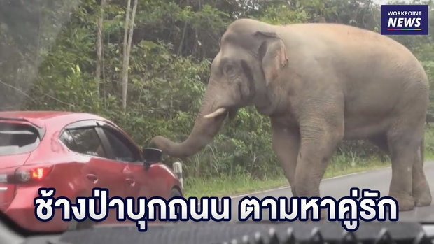 """""""เจ้าโยโย่"""" ช้างป่าบุกถนน ตามหาคู่รักถูกเพื่อนแย่งไป      ข่าวเวิร์คพอยท์   10 ธ.ค. 61"""