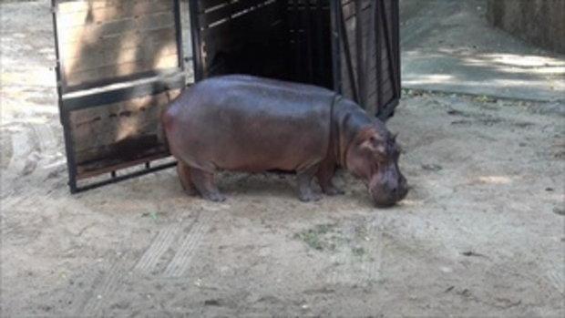 ฮิปโป 'แม่มะลิ' ดาวเด่น จากสวนสัตว์เขาดินถึงบ้านใหม่ สวนสัตว์เปิดเขาเขียว