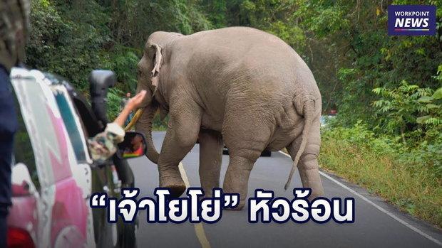 """""""เจ้าโยโย่"""" ช้างป่าเขาใหญ่ตกมัน วิ่งไล่รถ นทท. l ข่าวเวิร์คพอยท์ l 30 ธ.ค. 61"""