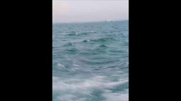 ตะลึง! ฝูงโลมาเผือกว่ายตามเรือ