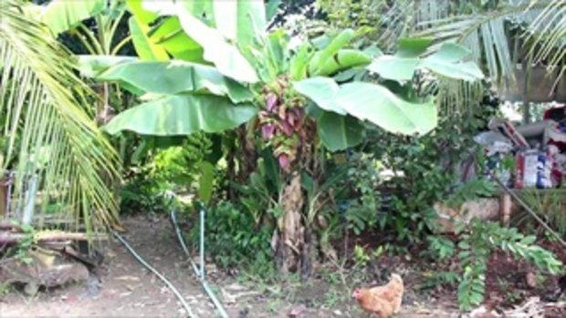 ฮือฮาทั้งหมู่บ้าน กล้วยประหลาด 5 เครือ 5 ปลี 28 หวี ซ้ำโยงไปถึงบ้านเลขที่