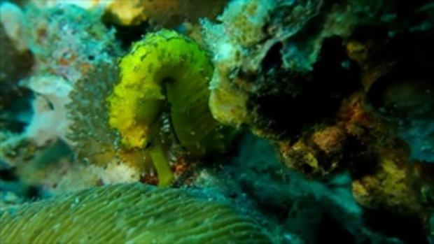 ฮือฮาพบม้าน้ำสีทองใต้ทะเลที่เกาะพีพี