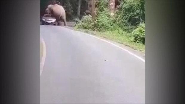 """""""พี่ดื้อ""""ช้างป่าเขาใหญ่ขย่มรถหลังคายุบ"""