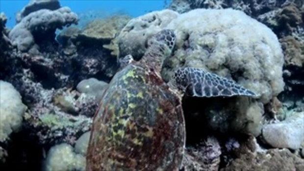 ภาพใต้น้ำเต่าทะเลยักษ์ที่เกาะพีพี