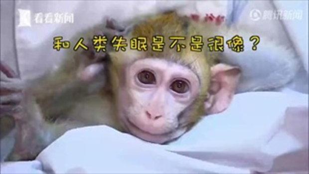 """สมาชิกใหม่ นักวิทย์ฯ จีน โคลนนิ่ง """"ลูกลิง"""" 5 ตัว จากการตัดต่อยีน"""