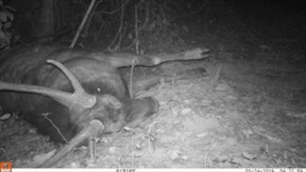 กล้องบันทึกภาพเสือดาวออกมากินซากกวาง บงชี้ระบบนิเวศที่ดี