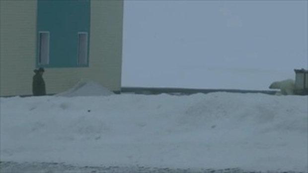 ประกาศภาวะฉุกเฉิน! ฝูงหมีขาว 50 ตัว บุกเมืองขั้วโลกรัสเซีย ชาวบ้านผวาโดนขย้ำ 1/2