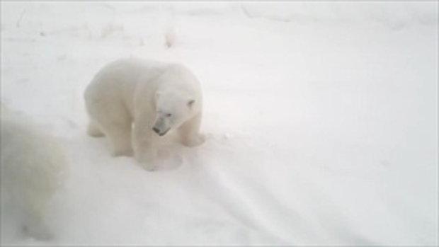 ประกาศภาวะฉุกเฉิน! ฝูงหมีขาว 50 ตัว บุกเมืองขั้วโลกรัสเซีย ชาวบ้านผวาโดนขย้ำ 2/2