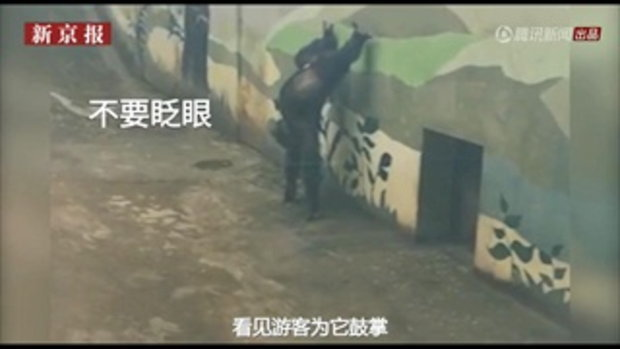 เจ้าจ๋ออุรังอุตังโชว์เท่ ทำหกสูง-ตีลังกากลับหลัง ชาวเน็ตสุดถูกใจแซวว่ามีกังฟู