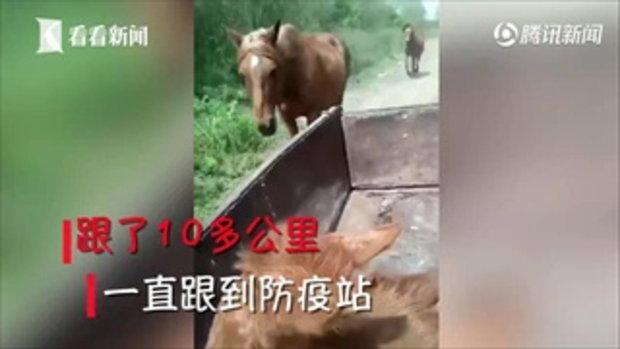ลูกม้าบาดเจ็บถูกคนใจดีพาไปรักษา พ่อม้าแม่ม้าไม่วางใจ เดินตามไกลกว่า 10 กิโลเมตร