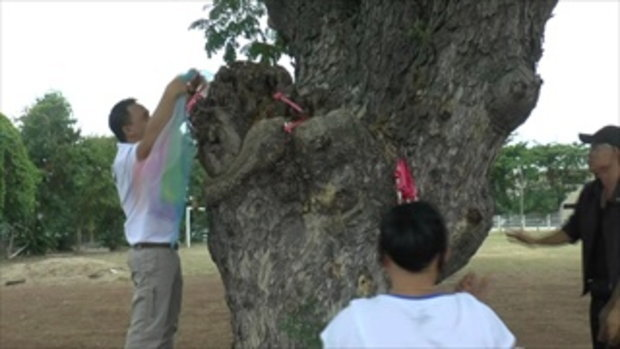 คนแห่ ขอโชคต้นก้ามปูยักษ์โบราณ อายุกว่า 100 ปี ริมกว๊านพะเยา
