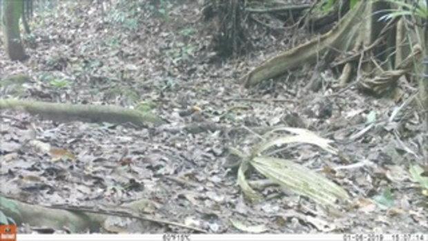 ภาพเปิดหาดูยาก ครอบครัวลูกเสือดาว-เสือดำ วิ่งเล่นป่าแก่งกระจาน
