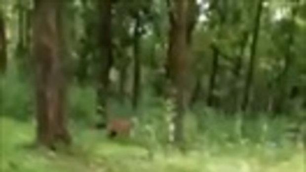 เสียวสันหลังวาบ! นาทีไบค์เกอร์อินเดีย เกือบตกเป็นเหยื่อของเสือป่า