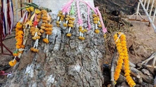 แห่ขอเลขเด็ด ตอไม้ล้มตาย 2 ปี กลับฟื้นยืนต้นใหม่ งวดที่แล้วให้โชคตรงเป๊ะ-เฮยกหมู่บ้าน