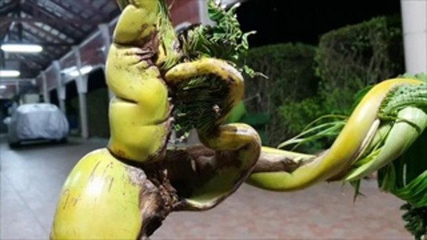 แห่ขอโชคลาภต้นมะพร้าวประหลาดคล้ายพญานาค 9 เศียร