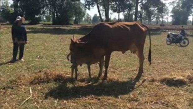 สุดแปลก!!ลูกวัว 6 ขา นักเสี่ยงโชคแห่ขอหวย