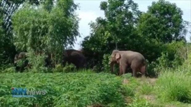 คลิป!!โขลงช้างป่าจากแปดริ้วหนีแล้ง!หากินไกลถึงปราจีนฯ