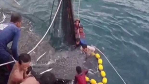 คลิปนาทีช่วยชีวิต3ฉลามวาฬว่ายติดอวน