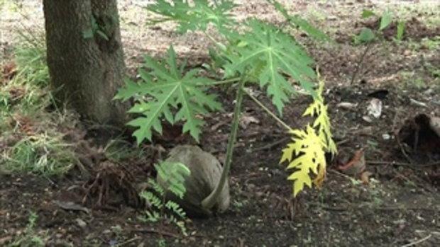 แปลกแต่จริง ต้นมะละกอโผล่ขึ้นจากลูกมะพร้าว ชาวบ้านแห่ขอเลขเด็ด