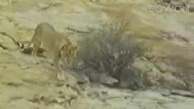 คนกับสิงโตเป็นเพื่อนกันได้จริงๆ