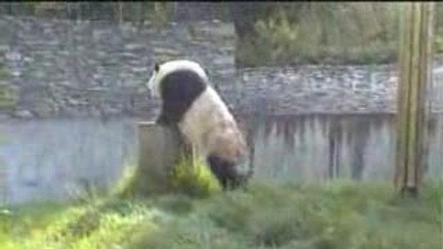 หมีแพนด้าเล่นโชว์นักท่องเที่ยว
