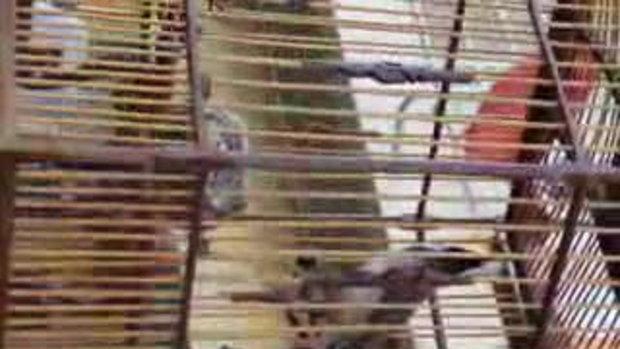 นกกรงหัวจุก Tatin