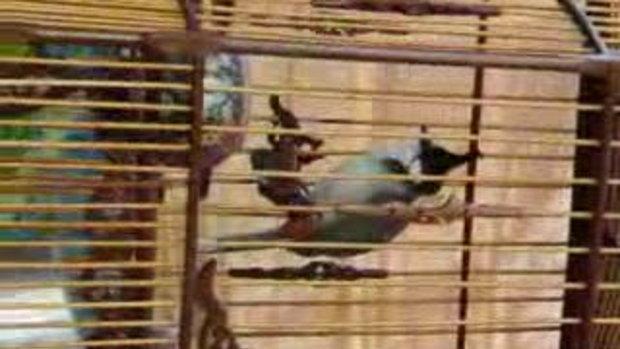นกกรงหัวจุก Tatin-1