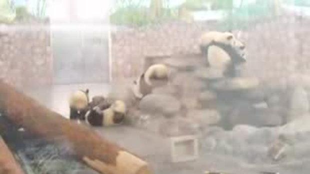 คลิปหมีแพนด้า หนีออกจากสวนสัตว์