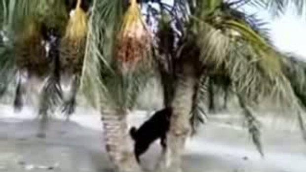 แปลก แพะปีนต้นมะพร้าว เก็บมากินด้วยตัวเอง