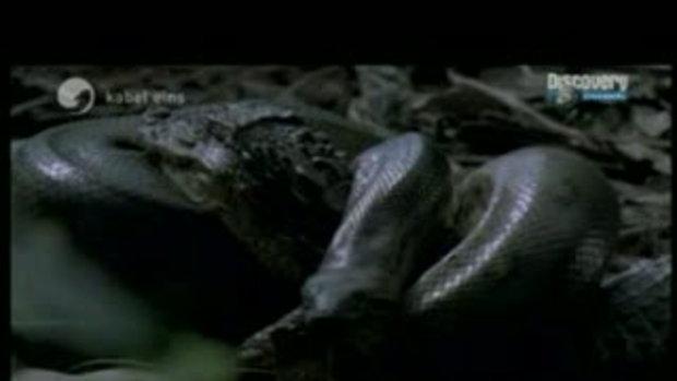 งูอนาคอนด้ากินจระเข้