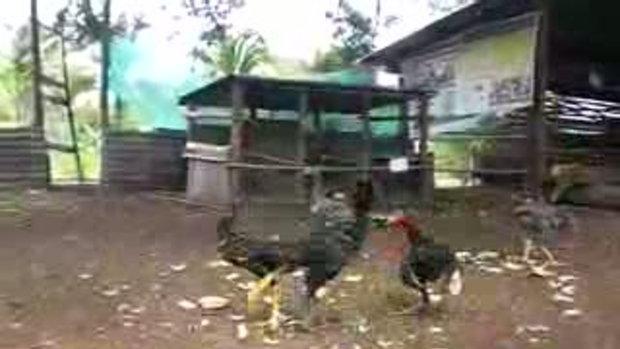 ไก่จ่าอึ่ง  (ไก่ดำ อยากเป็นจ่าฝูง)